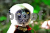 DSC_7457 XCU Lemur Big Eyes Who, Me? hz crop