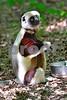 DSC_7460 Lemur Seated Eating vt