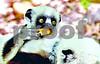 DSC_7526 Baby Lemur Enjoying his Veg 4x6