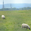 Sheep graze on the grass at the former city landfill between Mechanic Street and the Leominster Connector. <br /> SENTINEL & ENTERPRISE / Ashley Green