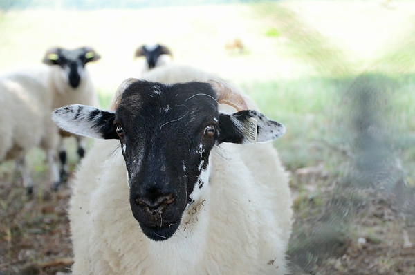 Leominster Sheep
