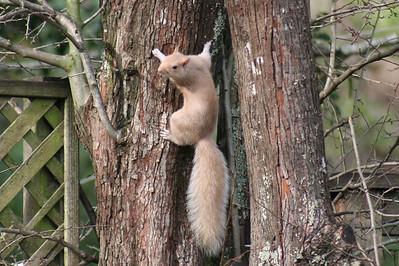 Leucistic Squirrel
