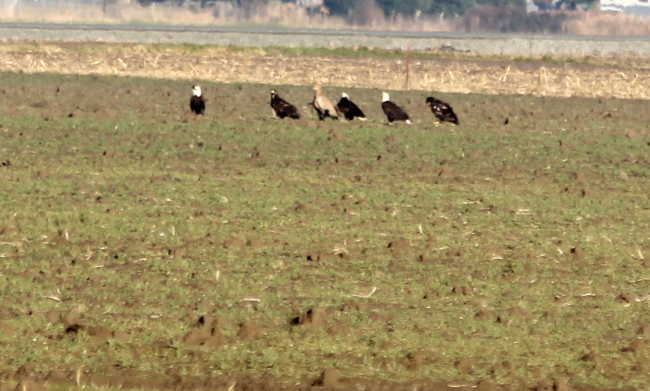 Lucistic Bald Eagle  in the middle