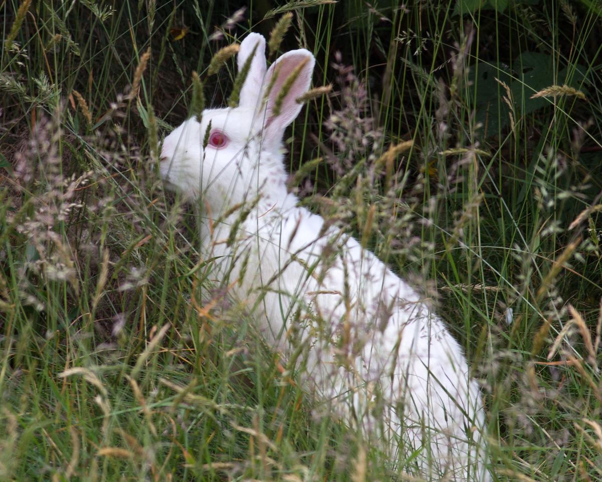 Fully Albino wild Rabbit