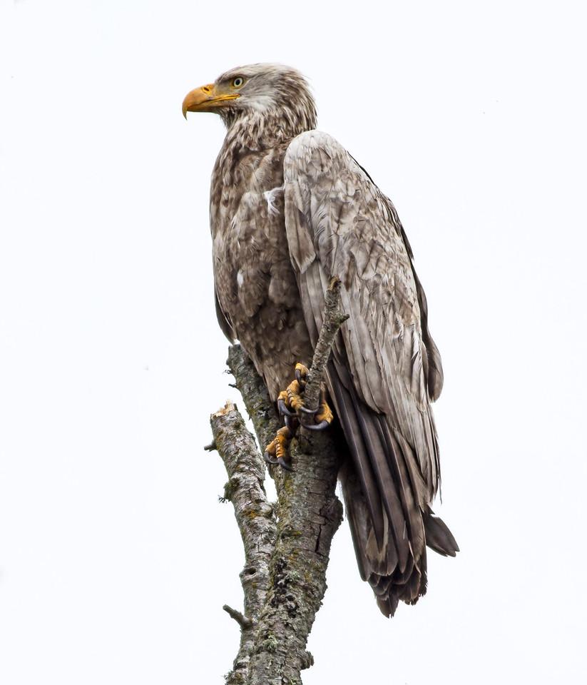 Lucistic Bald Eagle