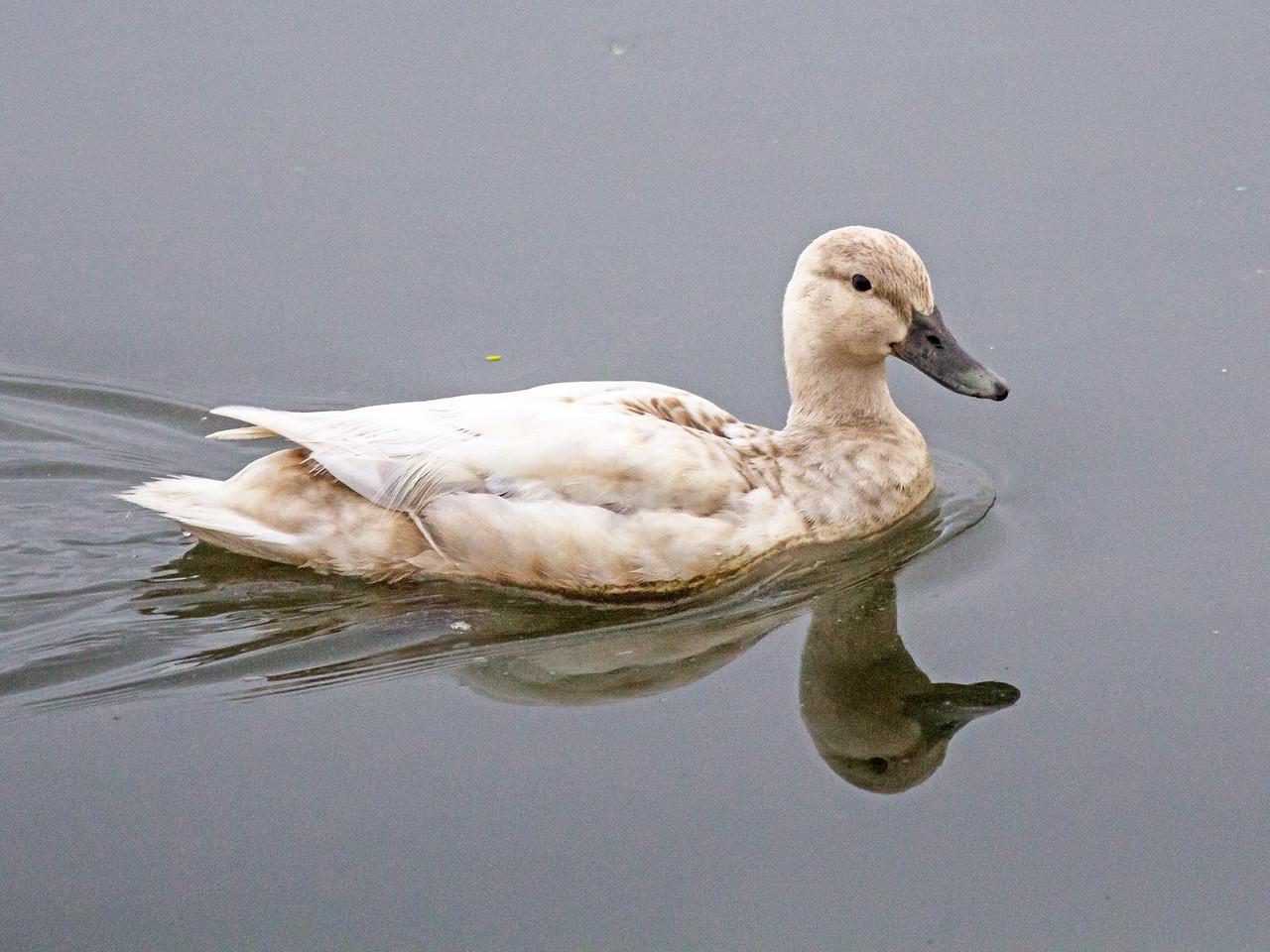 Leucistic Mallard Duck Female