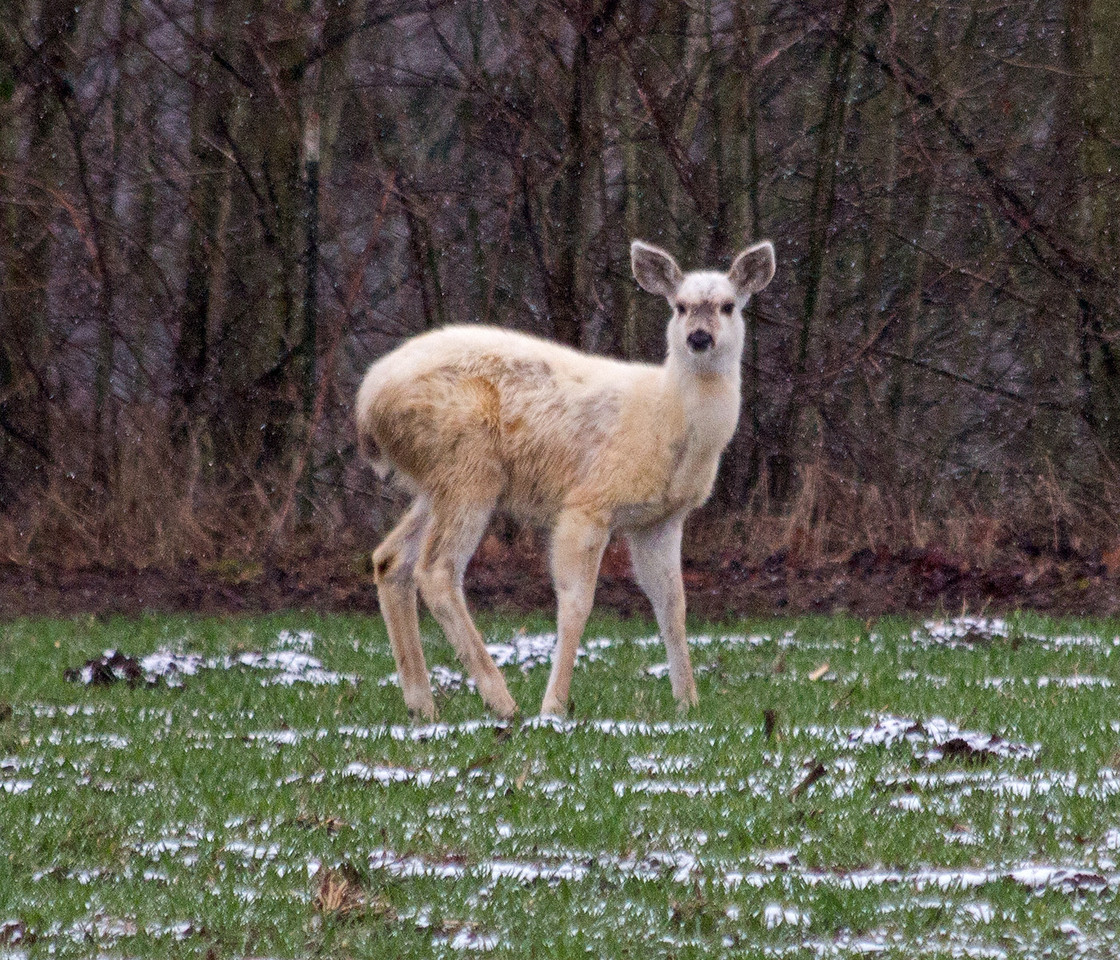 Young Lucistic Black Tailed Deer.. fawn
