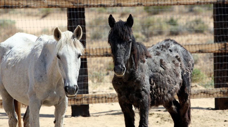Lazarus' Mom and sibling.   Rachael Waller Photography photo documentary Saving the 3 strikes mustangs www.wildhorserescue.org