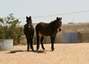 "Duke & Earl hang out by the water in the ""20""<br /> <br /> Rachael Waller Photography<br /> Photo journey documentary<br /> 3 strikes mustangs"