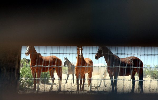 """been there done that"" Thru the slats in the pen, the curious healthy kids try to peek at the new arrivals.  Rachael Waller Photography ""Saving the 3 strikes horses"" Lifesavers wild horse rescue."