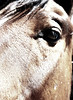 """The eye of hope""<br /> <br /> Canon Girl<br /> Rachael Waller Photography<br /> Saving the 3 strikes horses<br /> Lifesavers Wild Horse Rescue"