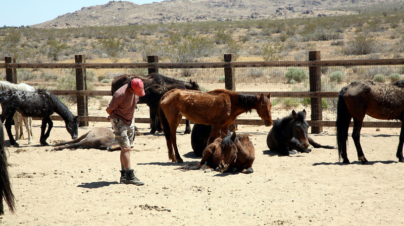 Rod Rondeaux (Crow Indian Horseman) evaluates a little mare.<br /> <br /> Rachael Waller Photography<br /> Saving the 3 strikes mustangs- A photo journey<br /> Lifesavers Wild horse rescue