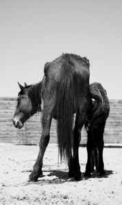 """""""Giving all she can""""  Rachael Waller Photography Saving the 3 strikes mustangs- A photo journey Lifesavers Wild horse rescue"""