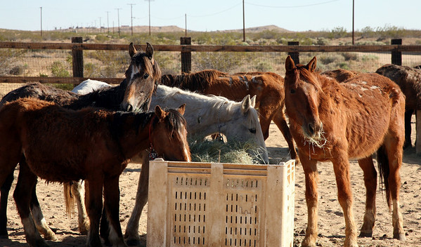 Breakfast 2  Rachael Waller Photography Saving the 3 strikes mustangs- A photo journey Lifesavers Wild horse rescue