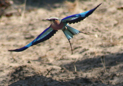 Lilac-breasted roller and swallow-tailed bee-eater