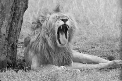 Lion wakes from his nap