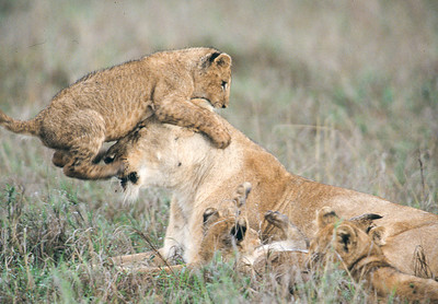 Without the tail, this lion cub would fall off Mom's head