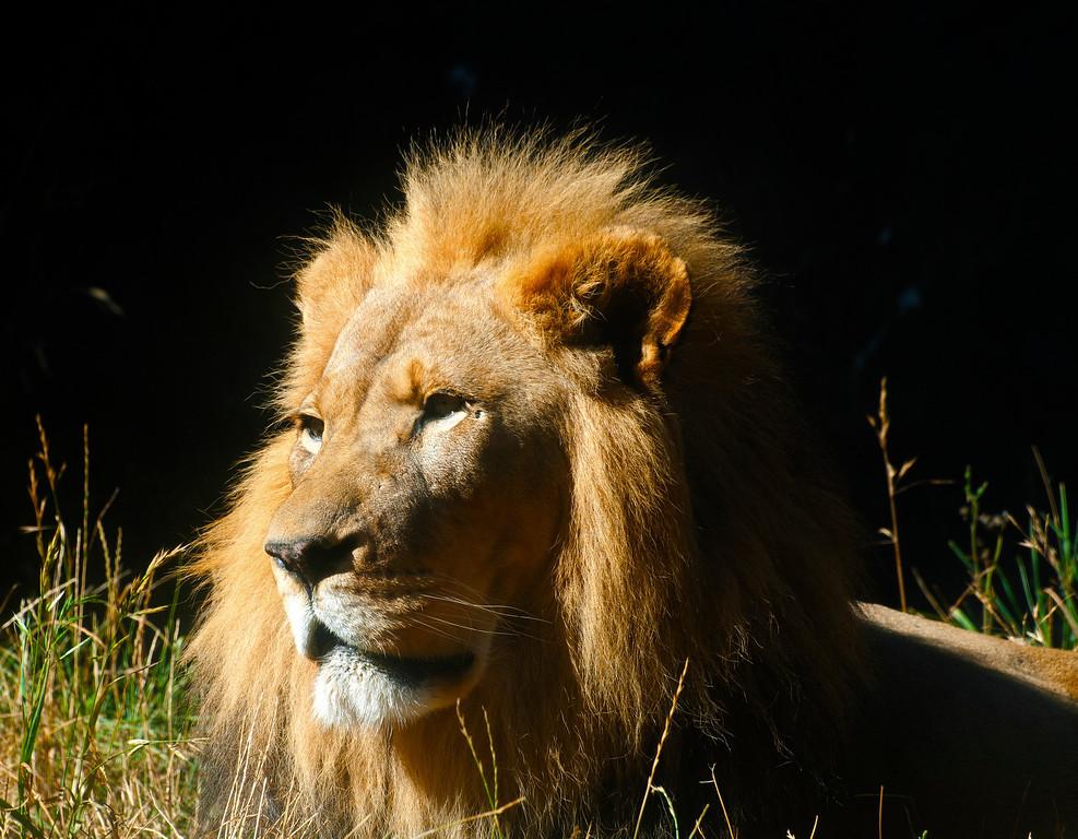 African Lion, 'Hubert'