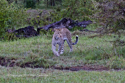 Male Leopard known as Lazy Boy