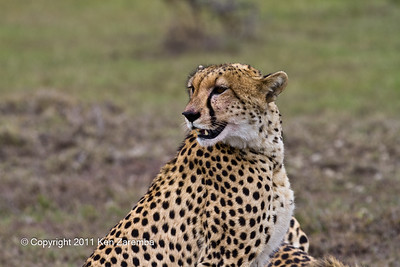 Cheetah with blood on her face