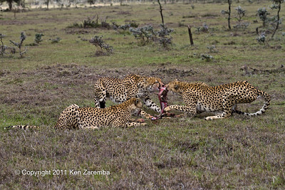 Mother Cheetah & her two cubs devouring a just killed baby gazelle