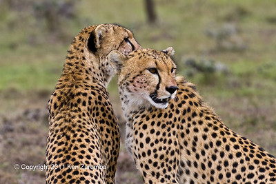 Cheetahs after a meal with blood on their faces