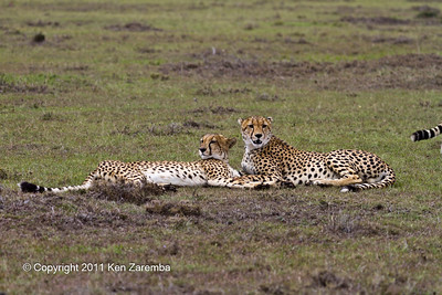 Two Cheetah cubs resting after the small gazelle meal while mom heads out to find another meal.