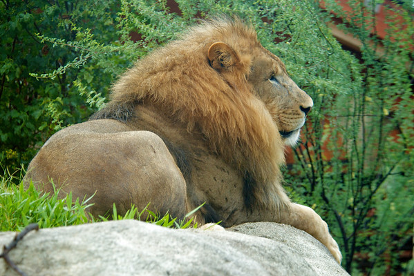 Lions 7/7/2012