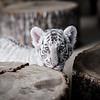 Siberian Tiger Cub, Chestatee Wildlife Preserve, Dahlonega, GA