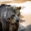 Jr. Bear, Chestatee Wildlife Preserve, Dahlonega, GA