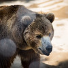 Senior Bear, Chestatee Wildlife Preserve, Dahlonega, GA