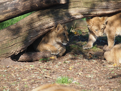 Lions in Copenhagen Zoo. Photo: Martin Bager.