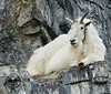 Mountain Goat-1