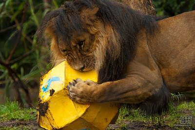 Male lion with his enrichment toy