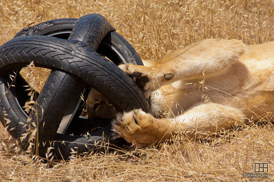 Lioness with enrichment toy