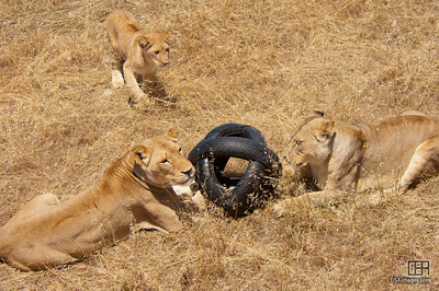Lion enrichment toy