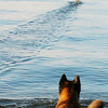 Dog being outrun by a baby merganser on Lake George