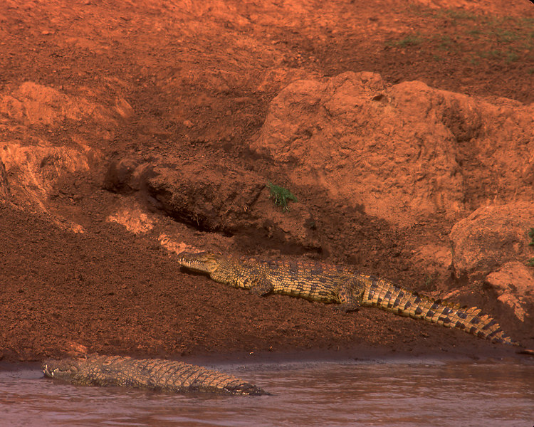 Nile crocodiles wait for the herd to cross