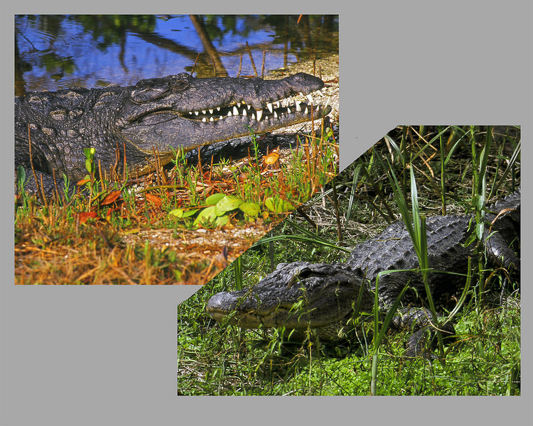 American Crocodile and American Alligator in Ding Darling.<br /> Compare the teeth.  These shots were made years apart.  Wanted them nose to nose.  Photoshop composite.