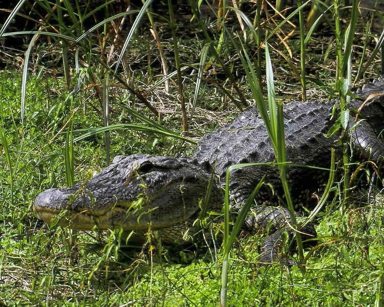 American alligator in Ding Darling, Sanibel, Florida