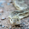 Gopher Snake.<br /> Arizona Desert