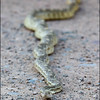 Gopher Snake<br /> Arizona Desert