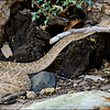 Western Diamondback Rattlesnake in Superstition Mountains Arizona. Est. 4 1/2 to 5 footer.  A longneck (not a beer).