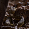 Black Tailed Rattlesnake in Haunted Canyon Arizona. Approximately 3 1/2 feet.<br /> Crotalus molossus