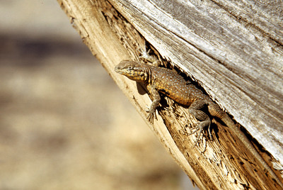 Common Side-blotched Lizard (Uta stansburiana) probably in Utah, April 1955