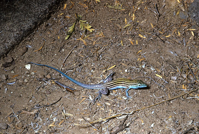 Little Striped Whiptail (Aspidoscelis inornata) Big Bend National Park, TX, 1958