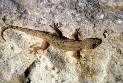 Gecko (Hemidactylus) Rio Piedras, Puerto Rico, 1964