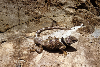 Crevice Spiny Lizard (Sceloporus poinsettii) Big Bend National Park, TX, 1958