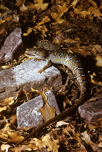 Texas Alligator Lizard (Gerrhonotus infernalis) Big Bend National Park, TX, June 1958