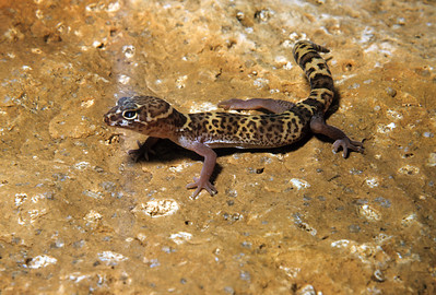 Texas Banded Gecko (Coleonyx brevis) Big Bend National Park, TX, 1958